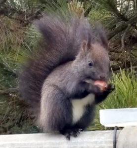 Braunes Hörnchen